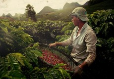 Brazilian coffee berries being harvested  Source viralgecko com